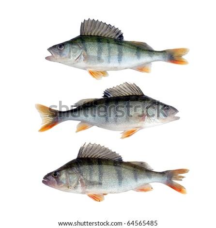 three large perches on white background - stock photo