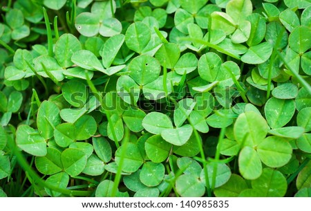 Three leaf clovers - stock photo