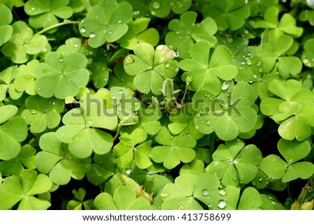 Three leaf clovers for backgrounds - stock photo