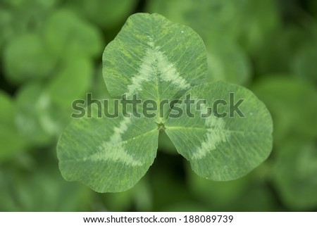 Three leaf small plant in spring season - stock photo