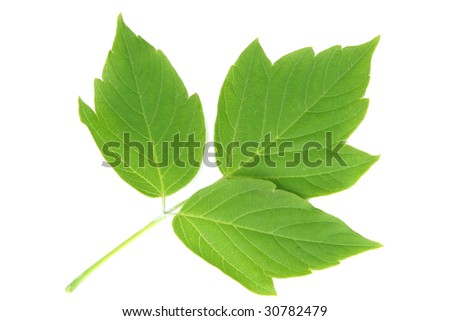 Three leaves on one branch