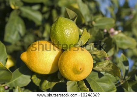 three lemons on tree, two ripe, one still green