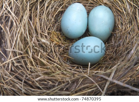 Three light blue robin eggs in their nest on a white background