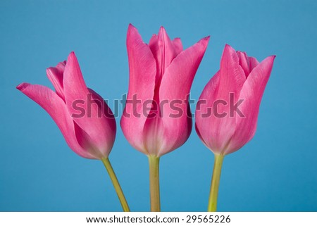 "Three lily-flowered tulips, cultivar ""China Pink"", on a blue background."