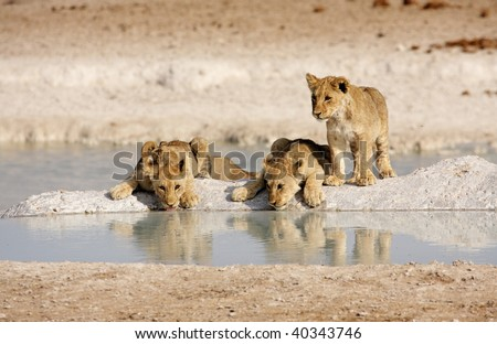 Three lion cubs drinking at a waterhole