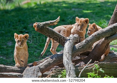 Three Lion Cubs on a Fallen Tree