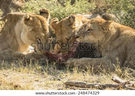 Three (3) lioness sharing a kill in Duba Plains, Okavango Delta, Botswana - stock photo