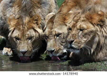 Three Lions Drinking - stock photo