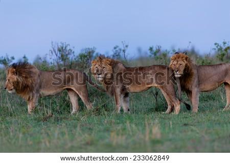 Three Lions of Sand River in Masai Mara, Kenya - stock photo