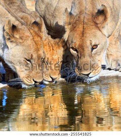 Three lions quenching their thirst at a Waterhole in Ongava - stock photo
