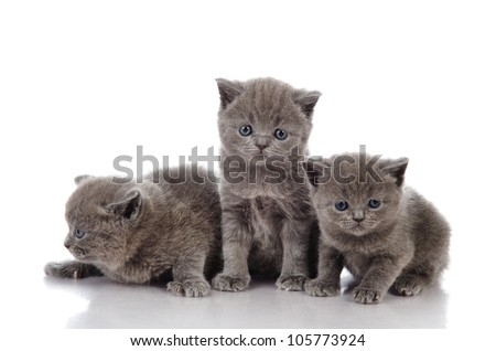 three little british kittens. isolated on white background