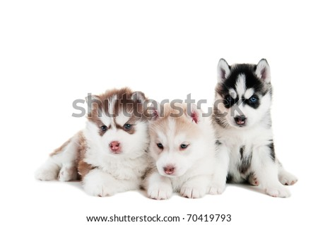 three little cute puppy of Siberian husky dog with blue eyes isolated - stock photo