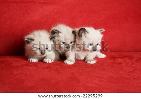 Three little kittens in a row.  Snowshoe Lynx Point Siamese kittens at 3 weeks old. - stock photo