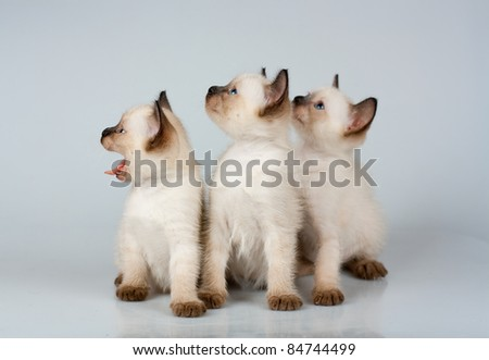 three little kittens Siamese on white background
