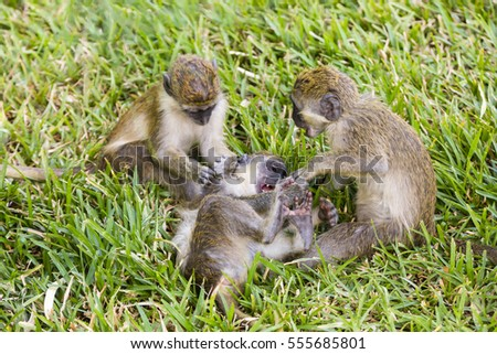 three little monkeys playing in the grass