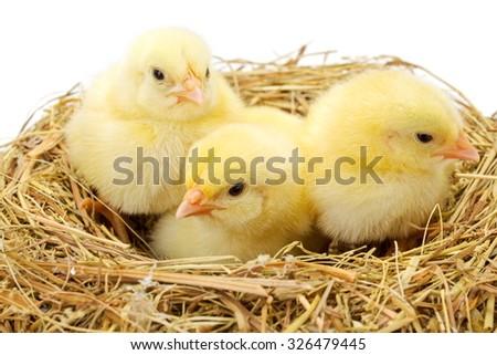 Three little newborn yellow chickens in hay nest - stock photo