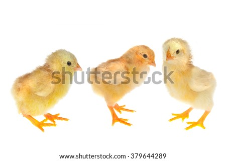 Three little newly hatched yellow easter chicks on a white background - stock photo