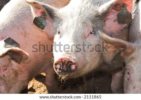 three little pigs - stock photo