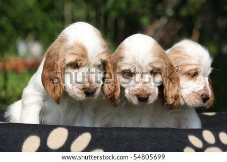 Three looking puppies of english cocker spaniel