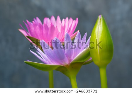 three lotus flower, selective focus with blurred background. - stock photo