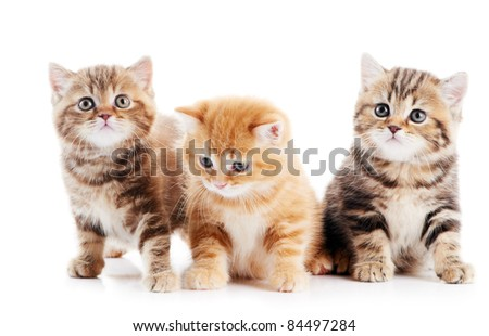 Three lying british shorthair kittens cat isolated - stock photo