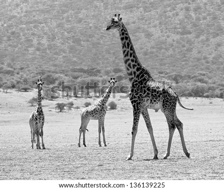 Three maasai giraffes in Crater Ngorongoro National Park - Tanzania (black and white) - stock photo