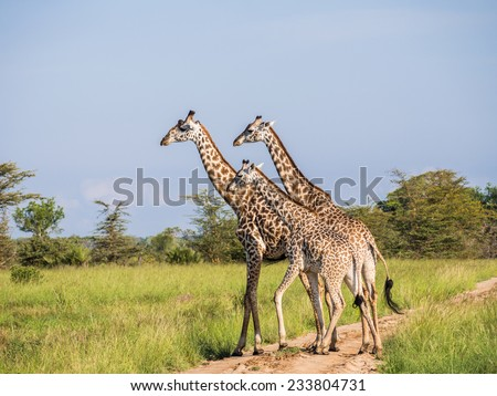 Three Maasai giraffes on a road on the savanna on Mikumi National park in Tanzania, Africa. - stock photo