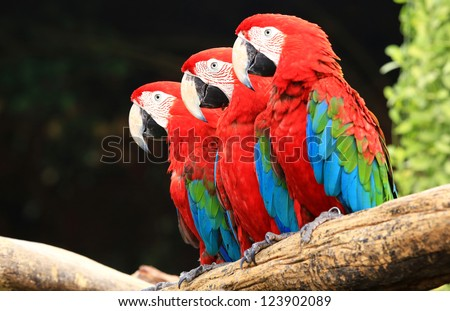 Three macaw on tree - stock photo