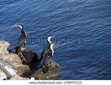 Three majestic  Great Cormorant (Phalacrocorax carbo) perching on granite rocks at Bunbury old harbor, Western Australia on  a sunny morning in mid winter.