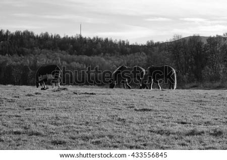 three majestic horses grazing on sunny summer pasture monochrome - stock photo
