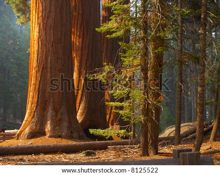 Three majestic sequoias standing tall in partial sunlight - stock photo