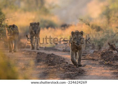 Three Male Lions walk down a path in Kruger National Park - stock photo