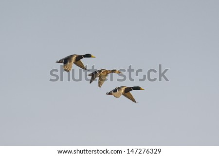 Three mallard ducks, Anas platyrhynchos, flying - stock photo