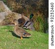 three mallards near the fall - stock photo
