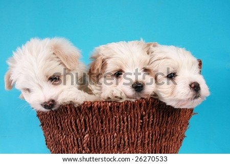 Three maltese puppies in a basket on a blue background.