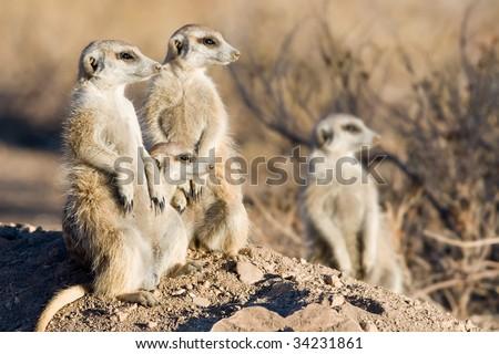three meercats - stock photo