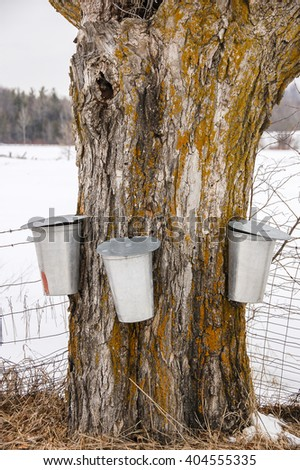 Three metal sap buckets hang on a Maple tree collecting sap for the production of Maple syrup.
