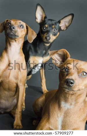 Three Miniature Pinschers - stock photo