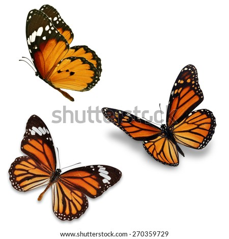 Three monarch butterfly, isolated on white background  - stock photo