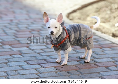 three-month white smooth coat Chihuahua dressed in autumn suit stays on a tile at a backyard - stock photo