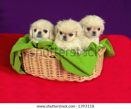 Three months old pure breed Pekinese puppies