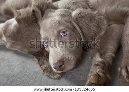 Three months old Weimaraner puppy looking at the camera with sleepy eyes  - stock photo