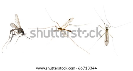 three mosquitoes isolated on white background - stock photo