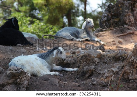 Three mountain rams lying on the rocks between the trees in the forest