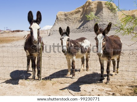 Three mules in the wilderness of Texas - stock photo