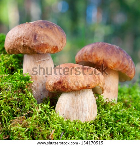 three mushroom (porcini) on moss in forest - stock photo