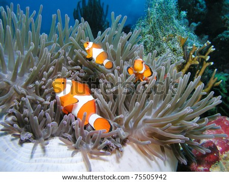 three nemos - clownfisch - stock photo