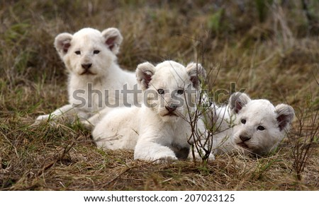 Three new born white lion cubs play in this image. South Africa - stock photo