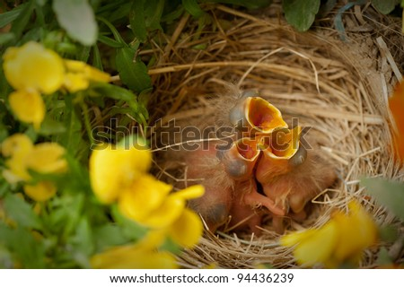 Three newly hatched Robins in the nest ready to eat and looking like they are singing. - stock photo