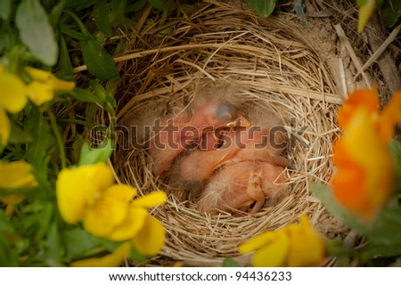 Three newly hatched Robins in the nest sleeping - stock photo